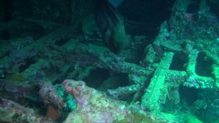 Giant Moray swims through the wreck of the Thistlegorm in the Red Sea Stock Footage
