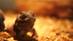 Slow Pan of Lizard in Cage Stock Footage