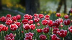 Bright red and pink Spring Tulips at a park Stock Footage