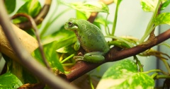 Green Tree Frog Sitting on Branch Background Stock Footage