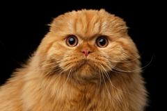 Furry scottish fold breed Cat on isolated black background Stock Photos