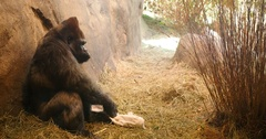 Gorilla With Towel on Shoulders in Zoo Stock Footage