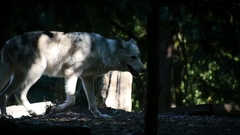 Arctic Wolf Stalking in Forest, Wolves, Slow Motion Panning Shot Stock Footage