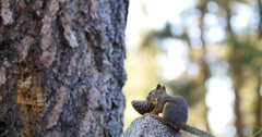 Cone Squirrel with Pine Cone Stock Footage