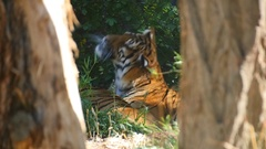 Bengal Tiger in Lying in Sun in Captivity Stock Footage