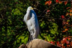 Great Egret perch on Rock Stock Photos
