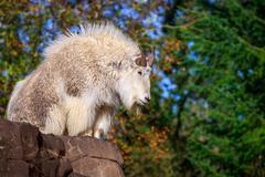 Rocky Mountain Goat Stock Photos
