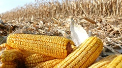 Ripe corn cob on field Stock Footage