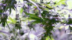 Growing Marijuana Indoor Operation Rack Focus Stock Footage