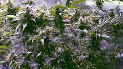 Marijuana Indoor Growing Plants Stock Footage