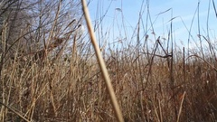 Dolly in to dry reed grass, Germany Stock Footage