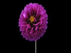 Time-lapse of blooming purple dahlia, 4K with ALPHA channel Stock Footage