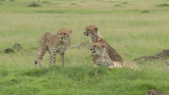 Cheetah (Acinonyx jubatus) family coming together on a small hill Stock Footage