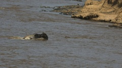 Crocodile attacking several adult wildebeest in the mara river Stock Footage