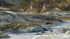 Pair of egyptian geese and a crocodile by the edge of the mara river Stock Footage