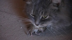Cat Has The Mouse In Mouth Stock Footage
