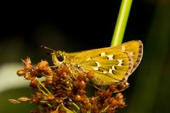 Butterfly Hesperia Comma sitting on grass Stock Photos