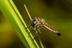 Asilidae with prey sitting on a blade of grass Stock Photos