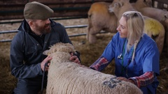 4K Vet talking to farmer & examining sheep in interior of farm building Stock Footage