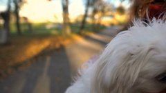 Cute bichon dog closeup. Human hold little dog which looking at cam. Autumn park Stock Footage