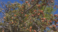 The Bush of hawthorn. Crimea. Zelenogorie Stock Footage