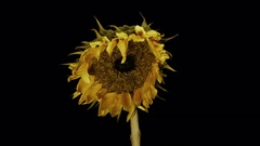 Dying Sunflower - 29,97FPS NTSC Stock Footage