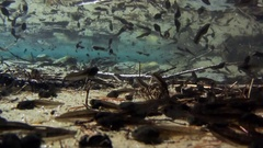 Tadpoles of Mountain Frog (Rana temporaria) underwater in a mountain pond Stock Footage