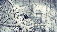 Tit on a snow-covered branches 3 Stock Footage