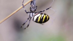 Argiopa spider sits on his cobweb. Stock Footage