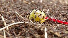 Sweet lollipop in anthills Stock Footage