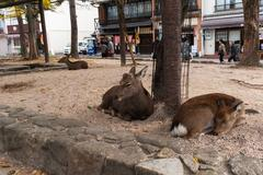 Tame deer on the streets of Miyajima (Itsukushima) in Japan Stock Photos