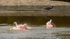 Roseate Spoonbills bathing Stock Footage