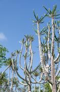 Tall and impressive Candelabrum Cactus in Angola Stock Photos