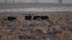 A group of moose browsing together in a field of sagebrush Stock Footage
