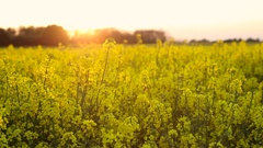 Rapeseed field at sunset or sunrise Stock Footage