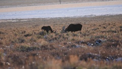 Two bull moose grazing in close proximity Stock Footage