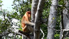 Male Proboscis monkey sitting on a tree in Labuk Bay, Sabah, Borneo, Malaysia Stock Footage