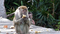 Female Long-tailed macaque with a baby eating at the feeding platform Stock Footage
