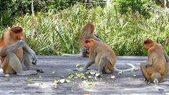 Proboscis family group eating on the feeding platform Stock Footage