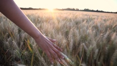 Young adult woman female hand feeling field of barley crop at sunset or sunrise Stock Footage