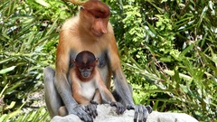 Female Proboscis monkey with a baby sitting in Labuk Bay, Malaysia Stock Footage