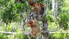 Proboscis monkeys (Nasalis larvatus) sitting on a tree Stock Footage
