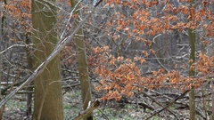 Dry orange tree leafs in the forest, Germany Stock Footage