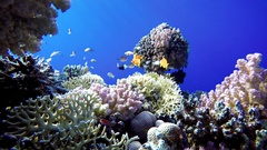 Coral reef and beautiful fish. Underwater life in the ocean. Stock Footage
