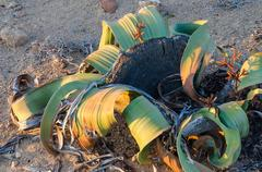 Welwitschia Mirabilis plant growing in the hot arid Namib Desert Stock Photos