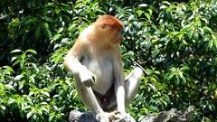 Young male Proboscis monkey (Nasalis larvatus) sitting on a tree Stock Footage