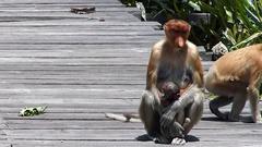 Female Proboscis monkey with a baby sitting on the feeding platform Stock Footage