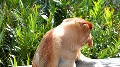 Male Proboscis monkey sitting in Labuk Bay, Sabah, Borneo, Malaysia Stock Footage