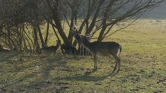 Herd of fallow deer and roes stand in the meadow under trees by Sheyno. Stock Footage