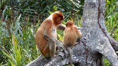 Female Proboscis monkey (Nasalis larvatus) with a baby sitting on a tree Stock Footage